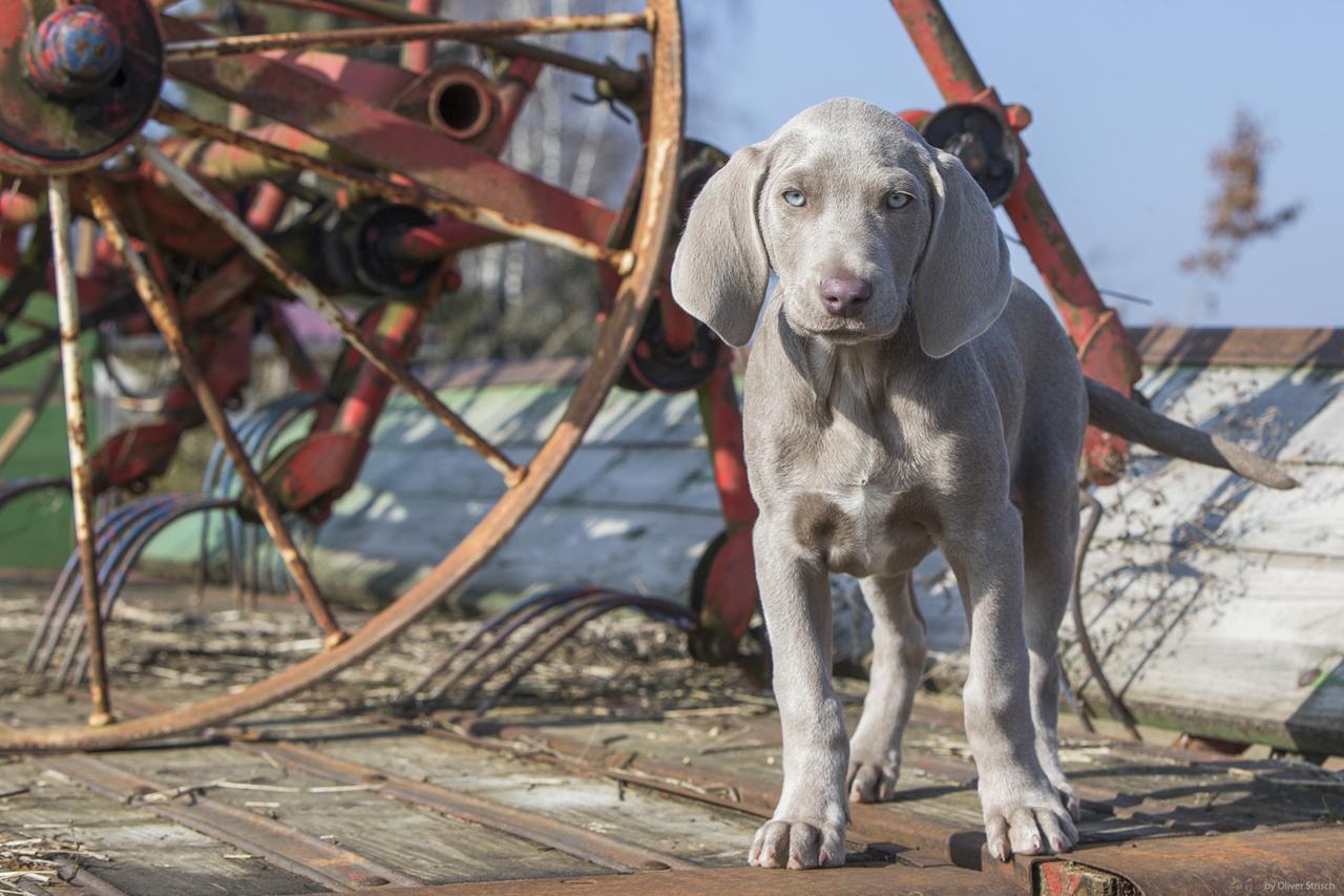 Portrait Weimaraner Puppy